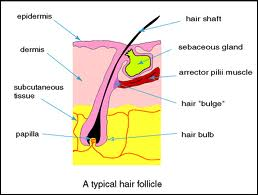 infographic of hair follicle